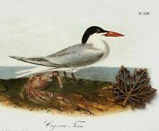 Audubon Bird Art Print Bookplate Page Seabirds Skimmer Gull Tern