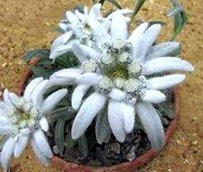 ✿ Echtes Edelweiß - Sukkulente Alpenblume für den Steingarten ✿  frische Samen