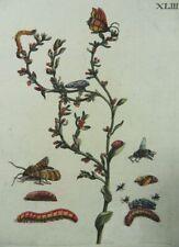 MARIA SIBYLLA MERIAN SCHMETTERLING FALTER RAUPE INSEKTEN KUPFERSTICH 1730