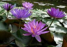 Live Purple Flower Violicious Winter Hardy Waterlily Aquatic Pond Plant