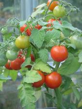 20 Micro Dwarf Tomato Seeds : Red Robin : 2019