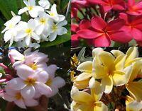 4 Hawaiian Plumeria Frangipani Mixed Plant Cuttings Red, White, Yellow, Pink