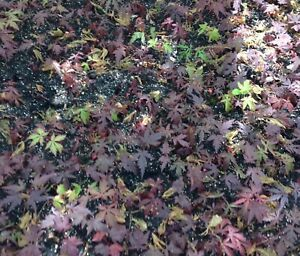 4 Young SEEDLINGs Japanese Red Green Maple Tree Great Bonsai! Shipped Bare Root