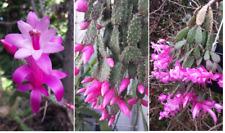 Kakteen Samen SCHLUMBERGERA OPUNTIOIDES neue Ernte selten, cacti seeds