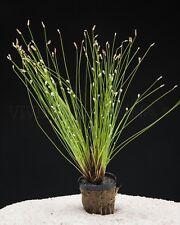 PLANT AQUARIUM: ELEOCHARIS ACICULARIS 5 STEMS