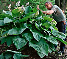 Hosta 2 Empress Wu Giant Plant Buy Any 5 Hostas Get One Free Spring Shipping