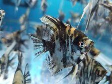 Lot of 5 Black Zebra Angel Fish Fresh Water Live AngelFish Dollar Size