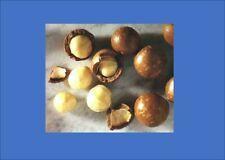 Macadamia Nut Fruit Tree  1 X Plant Tubestock Seedling