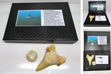 Large fossil shark tooth Otodus ancestor of the great white in gift display box