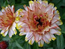 Calendula Seeds - SOLAR FLASHBACK MIX - Cottage Garden Favourite - 25 Seeds