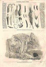 Maladies des Céréales L'ergot du seigle Claviceps purpurea Tul. GRAVURE 1856