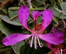Bauhinia purpurea - The Orchid Tree - 10 Seeds