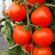 Kings Seeds - Tomato Akron F1 - 12 Seeds