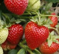 Fragaria ananassa Ostara-Strawberry  Plant in 9cm pot