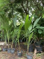 2 Coconut 🌴 Tree Live Plant Tropical