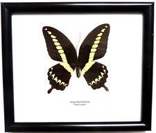 Cadre Véritable Papillon,décoration,vintage,cadeau,collection,taxidermie,cadre,