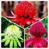 South Wales Waratah Telopea Speciosissima Flowers Bonsai Garden 100 PCS Seeds V