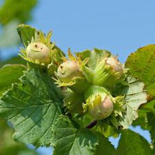 Strauch Haselnuss bringt im Herbst eine üppige Ernte für Tier und Mensch.