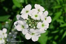 Nachtviole, weiß blühend Hesperis matronalis Blume Samen VERSAND FREI !!!