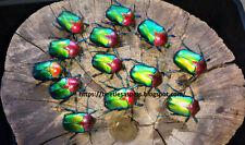 Insect grub feeder 5 x L2 Cetonischema speciosa jousselini flower beetle larvae