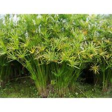 Live Umbrella Palm Tropical Aquatic Marginal Pond Plant