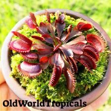 "LIVE Adult Venus Flytrap ""Akai Ryu"" Fly Trap Plant Exotic Tropical"