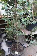 Eucalyptus coccifera 25 graines Tasmanie neige gum, myrte famille
