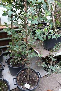 Eucalyptus Coccifera 25 seeds Tasmanian Snow Gum, Myrtle Family