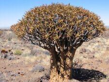 QUIVER TREE (Aloe dichotoma) 10 seeds