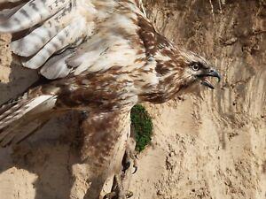 Buteo rufinus taxidermy CITES paper