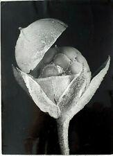 R.H. Noailles Photographer, Anagallis Arvensis, Vintage Photo, USA, 1932