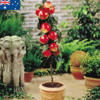 Apple Tree Seeds 30 Seeds Fruit Tree Miniature Bonsai Dwarf Seed Spring Fruit