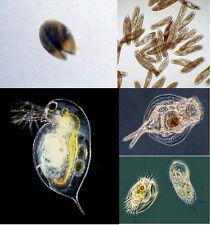 Freshwater Micro Fauna Mix - Daphnia Ostracods Ciliates Paramecium Infusoria