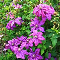100Pcs Clematis Samen Blumen Pflanzen Samen Haus Und Garten Samen Farben