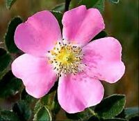 40 Graines Rose Canine Rosier Eglantier Rose Silvestre Fleurs Fruits