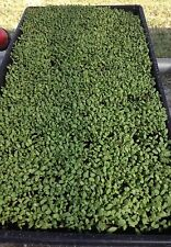 BROCCOLI SEEDS SPROUTING ,CANCER FIGHTING,ORGANIC,SUPERFOOD,20,000 seeds