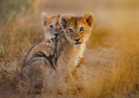 A1|Lion Cubs Poster Print A1 Size 60 x 90cm Wild Animal Wall Decor Gift #14888