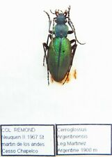 Ceroglossus buqueti argentinensis (A1 but was pinnned) from ARGENTINE