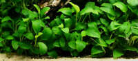 *BUY 2 GET 1 FREE* Anubias Nana Narrow Leaf Live Fish Tank Aquarium Plants ✅