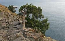Juniperus Excelsa SSP polycarpos - Semillas Frescas