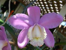 "Gorgeous Cattleya harrisoniana 'Volcano Queen' Am/Aos Bloom size 4"" pot Species"