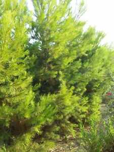40 Pine seeds tree - Aleppo Pine