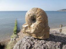ammonite EMILEIA Burton Bradstock Inferior Oolite 158 myo  Jurassic