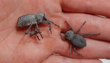 Flawed Blue Death Feigning Beetle Asbolus verrucosus LIVE FEEDER INSECT