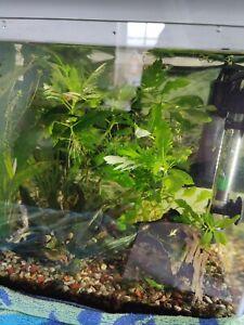 1 x Water Wisteria (Hygrophila Difformis) Aquarium Plant