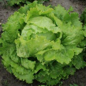 Batavia Lettuce - Blonde de Paris - 50+ seeds - Semillas - Graines