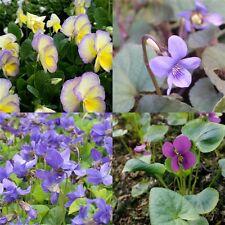 Viola sororiaALBA Frühlingsblüher   robust   Bodendecker Pfingstveilchen
