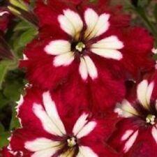 8 X Arrière Petunia Bourgogne PLUG plantes envoi gratuit Prêt mi février