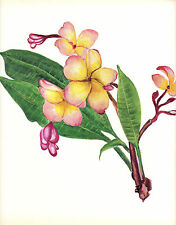 CLARENCE E HALL 1966 Book Print FRANGIPANI Tropical Flower Oil Painting
