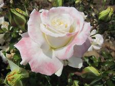 TITANIC - 4lt Potted Floribunda Garden Bush Rose - Cream/Pink, Fragrant
